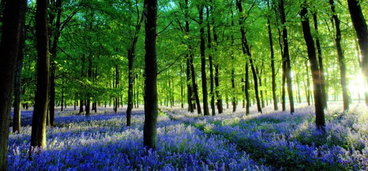 "The photographer wrote, ""The low sun was casting amazing long shadows between bright spears of light. There was quite a breeze too – and so the whole scene swayed and 'breathed'. Taken in Ashridge Forest – just off the road to the Beacon. There are several acres of bluebells carpeting the entire forest floor."" Photo by Ken Douglas"