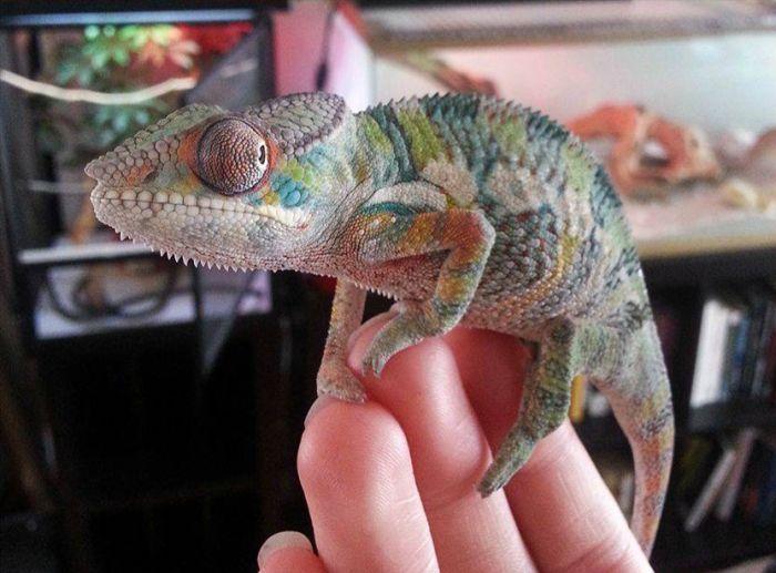 chameleon_04