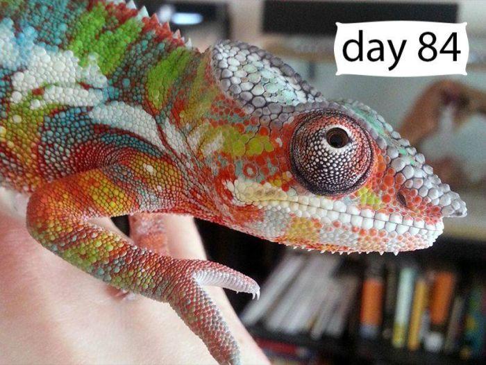 chameleon_09