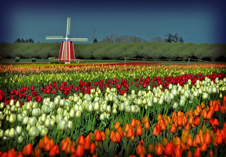 "Wooden Shoe Tulip Festival in Oregon. Once upon a time, tulips crashed the Dutch economy. During the 1600s, tulips were so wildly popular in Holland that social status was measured by exotic tulips. ""At the peak of tulip mania, in March 1637, some single tulip bulbs sold for more than 10 times the annual income of a skilled craftsman. It is generally considered the first recorded speculative bubble."" Photo by Misserion"
