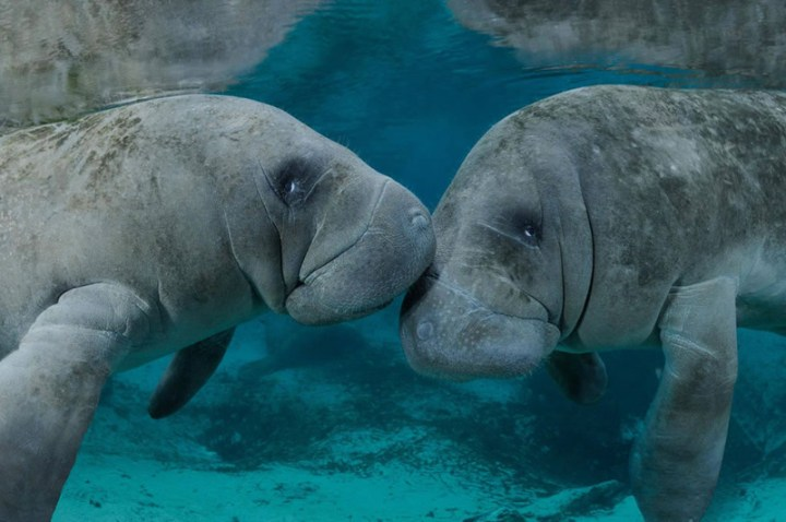 Kissing-manatees-in-Georgia