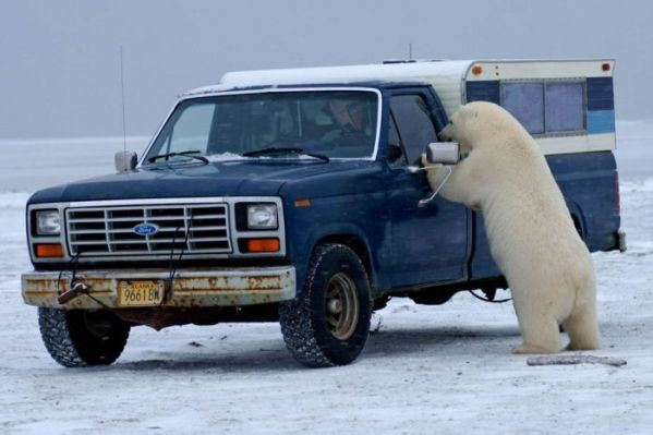 polar_bear_02