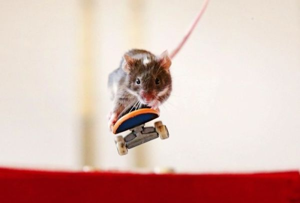 you_have_to_see_these_pictures_of_skateboarding_mice_14