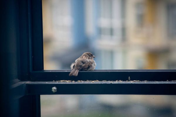 found-blind-baby-sparrow-below-my-balcony-9