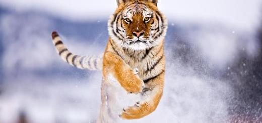 amazing-nature-photos-tiger-running