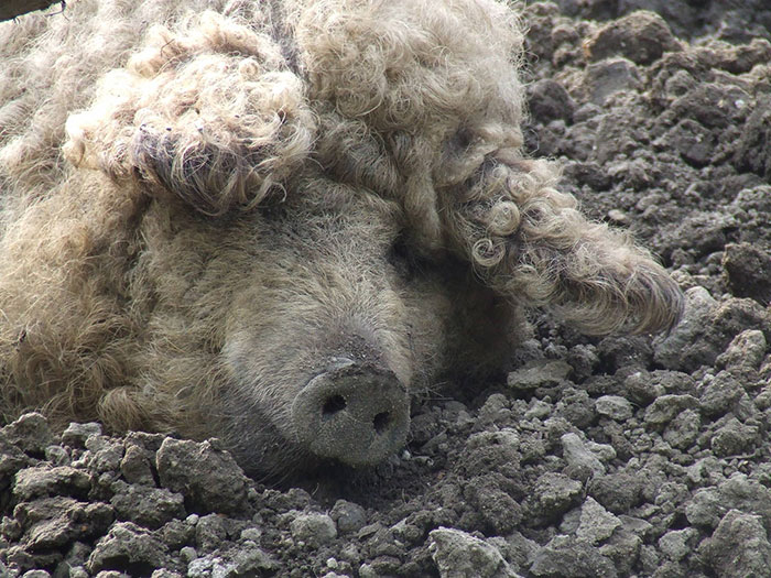 mangalitsa-furry-pigs-hairy-sheep-54__700