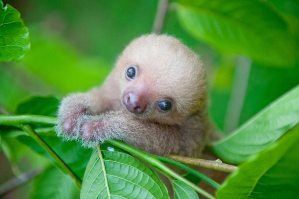cute-baby-sloth-institute-costa-rica-sam-trull-17