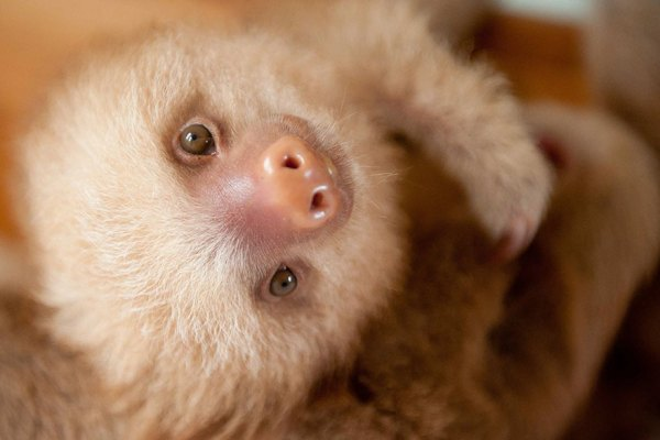 cute-baby-sloth-institute-costa-rica-sam-trull-24