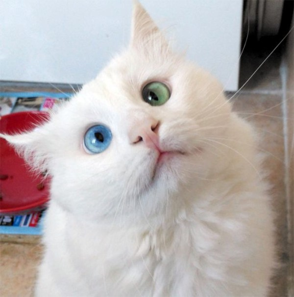 heterochromia-cat-cross-eyed-alos-29