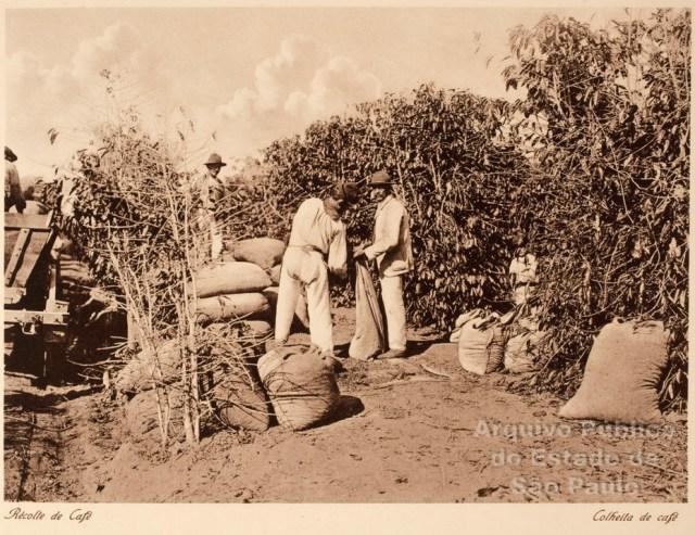 Fotografía 9 Hombres recogiendo café en una finca del estado de São Paulo (Álbum Vistas de São Paulo, circa 1900)