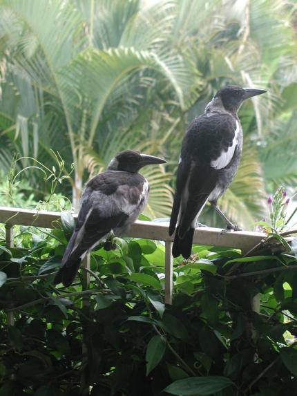 Our friendly magpies