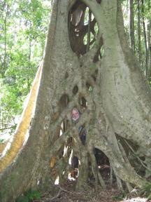 Strangler fig in the Bunya Mountains National Park