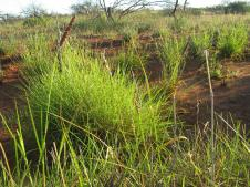 Spinifex grass