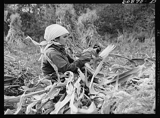 Greenfield (vicinity), Connecticut. Polish immigrant husking corn, October 1941.  Photographer, John Collier.  (Library of Congress)