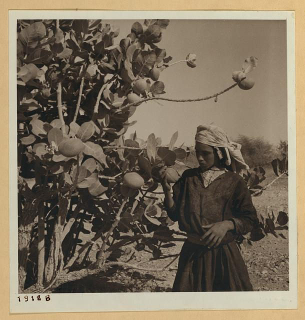 Travelling with Mr. Moore for National Geographic Society.  An Oshr tree (Sodom apple).  c.1938.  John D. Whiting, photographer. (Library of Congress)