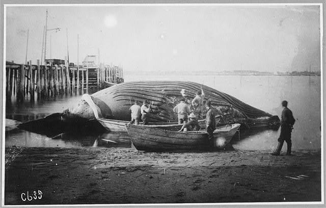 Cutting up a blue whale, between ca. 1900 and ca. 1930