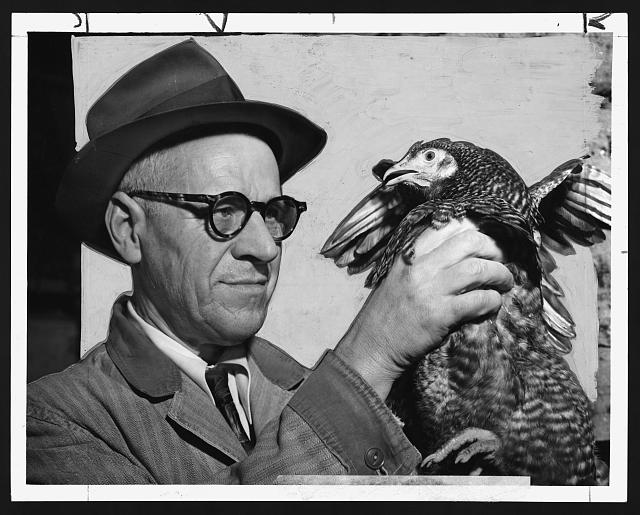 Lester P. W. Wehle, a live-poultry inspector for the city of New York, inspects the crop of a chicken, 1951.  (World Telegram & Sun photo by Al Ravenna)