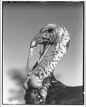 TITLE:  Birds. Turkey (gobblers head) I      Theodor Horydczak Collection (Library of Congress)