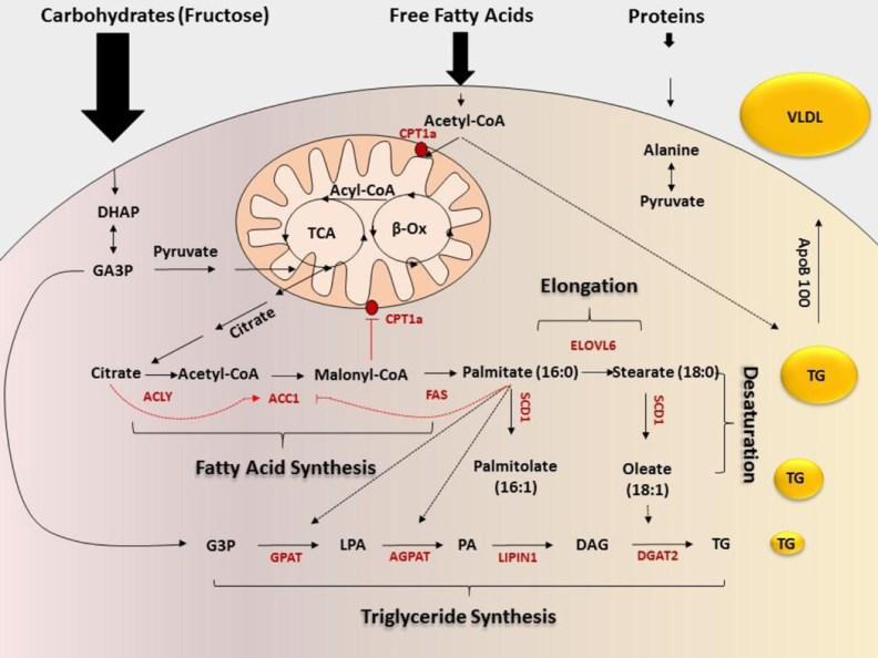 Lipogenesis fatty liver_MenElite