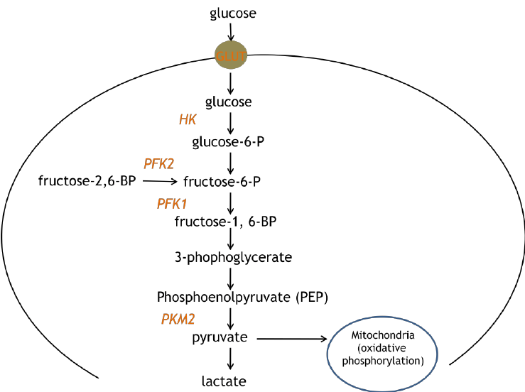 Glycolysis coronavirus MenElite