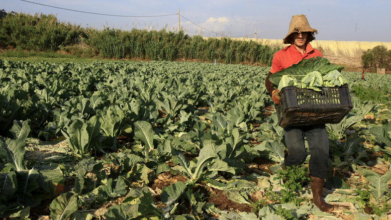 A farmer harvests cauliflowers for sale at the field in Tipaza, west of Algiers, Algeria June 3, 2015. Besides falling energy revenues, Algeria also has a growing number of mouths to feed, with the population put at 40 million and increasing by an estimated one million a year. Main foodstuffs, including cereals, sugar and milk are subsidised, but there is no such help for some products such as vegetables, which keeps prices high. Official statistics show the state imports on average five million tonnes of wheat and barley a year, but that figure appears to be climbing. It hit some 7.4 million in 2014. Algeria last year took its first steps towards opening up the farming sector to foreign investors, inviting bids for 16 state-owned farms focused on grains, vegetables, fruit trees and cattle breeding. Picture taken June 3, 2015.  To match story ALGERIA-AGRICULTURE/      REUTERS/Ramzi Boudina