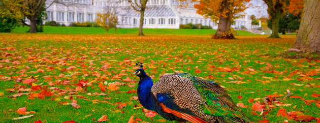 A peacock at Kew Gardens in Autumn