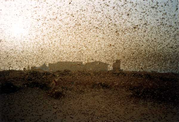 Desert Locust outbreak in northeast Africa and Saudi Arabia