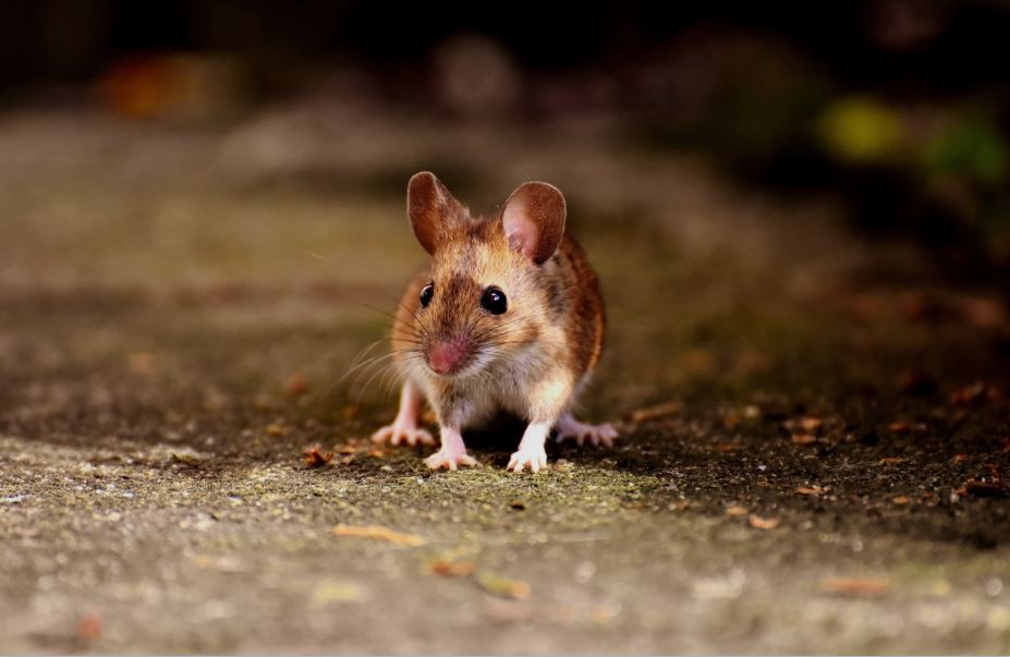 4 Calls to Make Immediately after Discovering Mice in Your Workplace