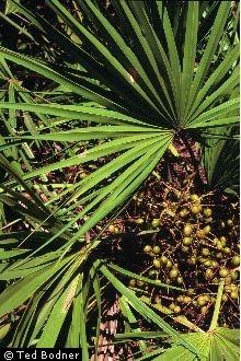 Saw Palmetto: The Male Herbal Superstar                    Few People Know About
