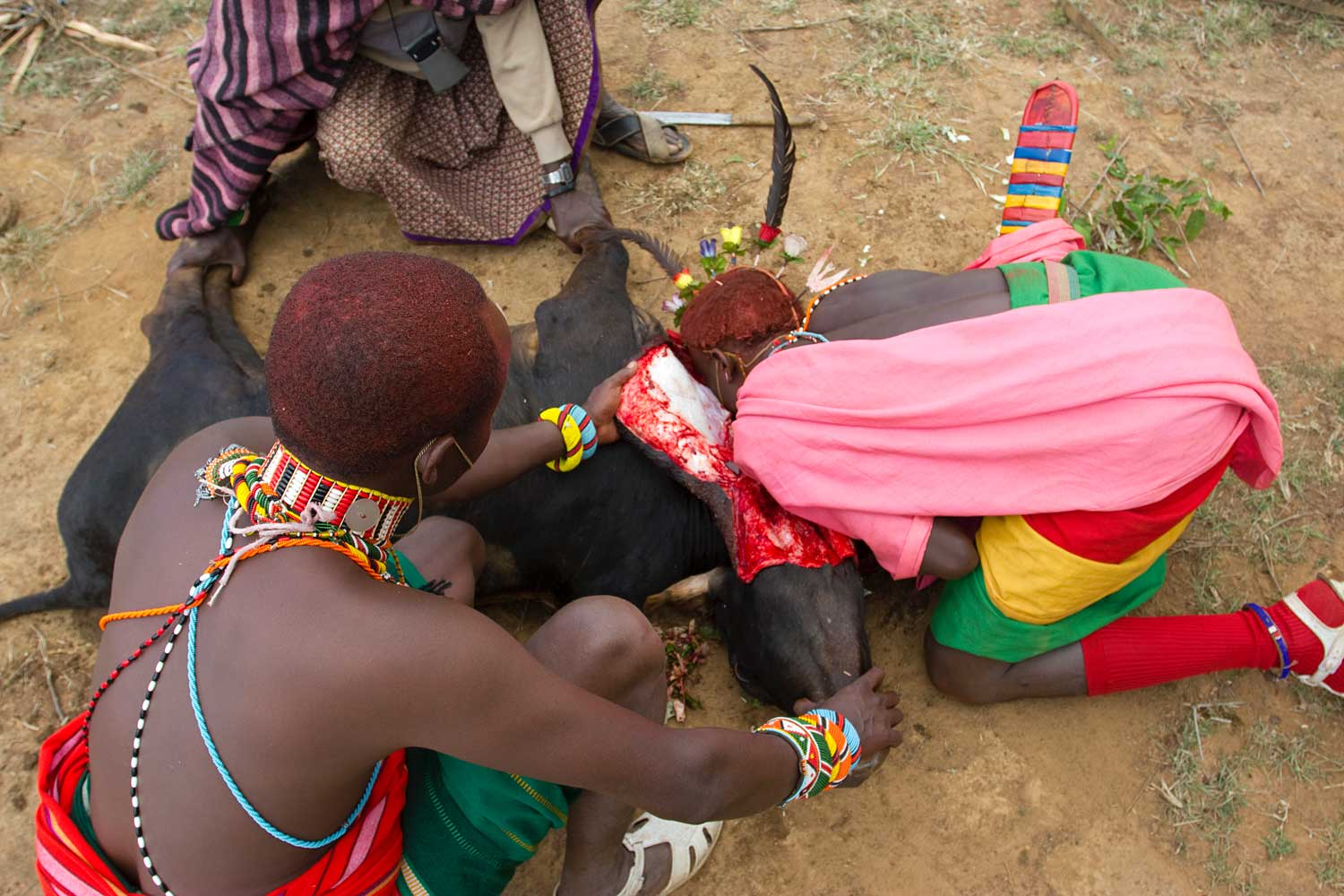 Marcy Mendelson, The Samburu Story | A moran drinks blood directly from the throat of a still-kicking cow during the Lmuget ceremony. Women are not permitted to be present during this portion of the graduation.