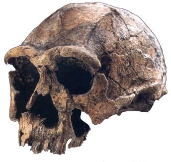 Homo ergaster (KNM-ER 3733) fra Turkanasøen. 1,7 mio. år
