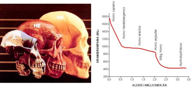 Stigningen i hjernerumfanget over tid. Der er især to perioder, hvor der er sket en kraftig øgning af hjernestørrelsen. Den første fase finder sted med udviklingen af Homo og falder sammen med opta-gelsen af bl.a. animalsk føde på menuen. Arten Homo ergaster/erectus levede en million år, hvor hjernestørrelse og legemsstørrelse var forholdsvis stabil. I løbet af denne periode uddøde Australo-pithecus, der var specialiseret til at spise seje og fibrøse plantedele. Måske hæmmede denne kost hjernens udvikling hos Australopithecus. For en halv million år siden begyndte legems- og hjerne-størrelse igen at øges (hos Homo heidelbergensis), og herfra opstod neandertalerne og Homo sapiens. Denne anden fase af markant udvikling af hjernen faldt sammen med de meget voldsomme udsving i klimaet (istider og mellemistider de sidste 700.000 år) samt med beherskelse af ilden og storvildtjagt. A: Australopithecus. HE: Homo erectus. HS: Homo sapiens.