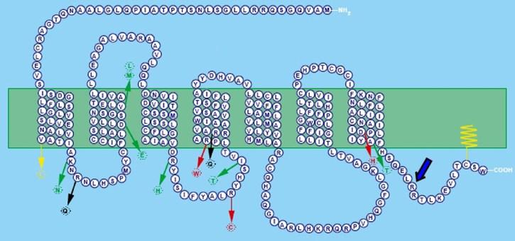 Strukturen af MC1R-receptoren. Pilene viser forskellige mutationer. De røde pile viser de tre mutationer, der hyppigst giver anledning til rødt hår (se tekst). De øvrige pile peger på andre hyppige mutationer. Den kraftige blå pil peger på stedet for mutationen hos de to undersøgte neandertalfossiler. Den grønne bjælke er cellemembranen, hvori de syv transmembrane segmenter af proteinet ses indlejret