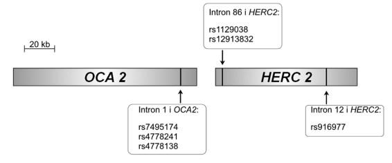 Skematisk fremstilling af OCA2- og HERC2-generne med angivelser af de SNP's, der er omtalt i teksten