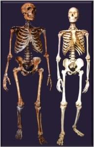 Homo nenadertalensis (t.v.) og Homo sapiens