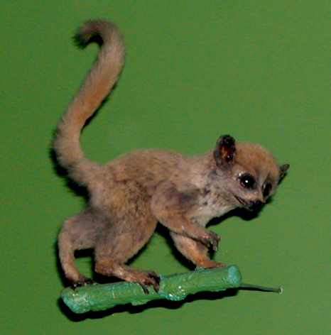 Muselemur, American Museum of Natural History, New York City