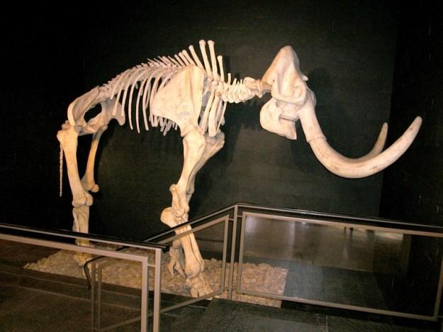Skovelefant, museet