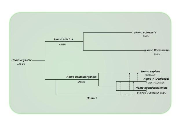 Slægtsdiagram Homo sapiens, neandertalere og Denisova, der viser den indbyrdes opblanding