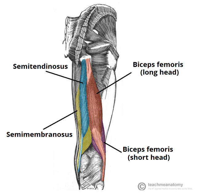 анатомия подколенного сухожилия