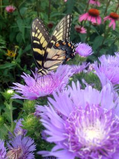 This tiger swallowtail is enjoying his early bird special.