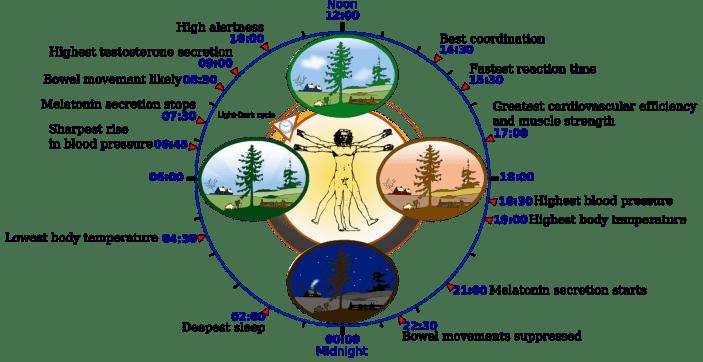 human Circadian rhythm clock