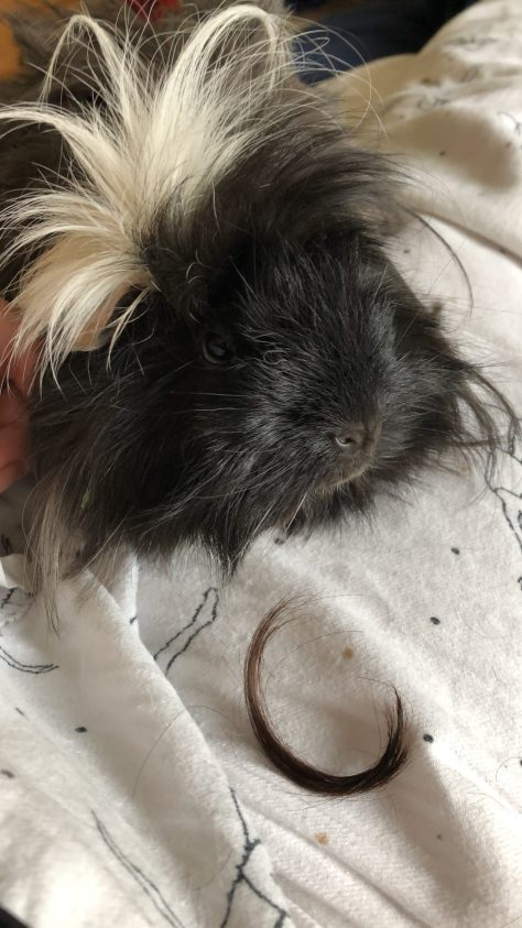 guinea pig with strand of chewed hair