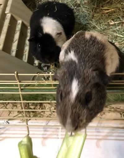 celery time for guinea pigs Butternut and Peanut