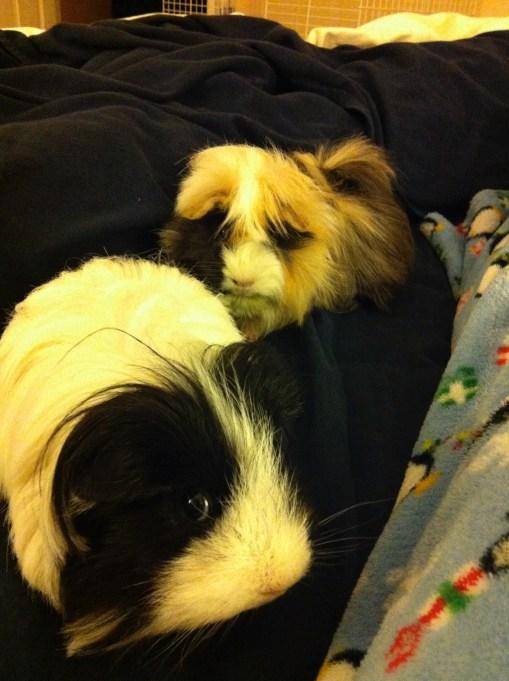 Guinea pigs Chloe and Sienna