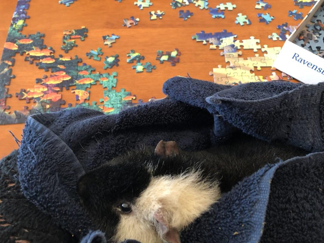 Snuggles with guinea pig Butternut