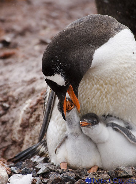 parent and two baby penguins