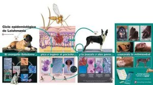 ciclo de la infección de Leshmania