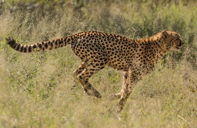 Inyamaswa zifite ubushobozi budasanzwe buruta ubw'umuntu - Cheetah iri kwiruka