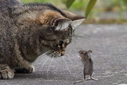 kucing dan tikus