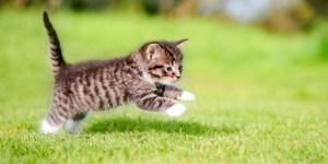 Anak kucing berlari